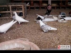 出售观赏鸽