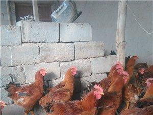 生态土鸡,美味健康,节日送礼上上品。