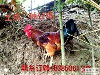茶海土鸡养殖