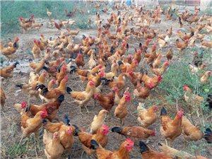 散養柴雞&柴雞蛋