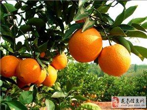 南蛇崗臍橙出售