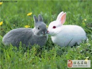 招远肉食兔及小白兔出售