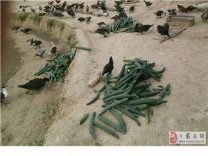 純農戶散養家禽出售