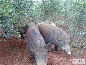 出售散養野豬