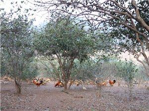 山林放养土鸡出卖
