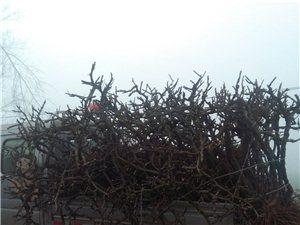 紅提樹,桂花樹