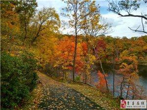 美國紅楓純正華石品系秋火焰米徑4~10公分