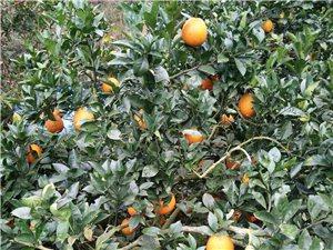 正宗贛南臍橙,不打蠟,無農藥,
