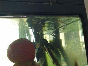 15公分长头大4公分的罗汉鱼