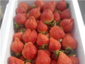 招遠個大肉多新鮮草莓