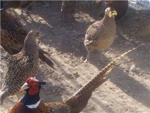 七彩野山鸡养殖