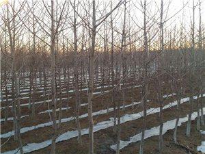 出售银杏树89410255