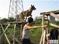 工作犬培育