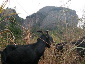 出售。散養黑山羊,種羊,肉羊,和有機肥羊糞