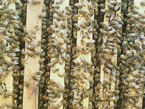 出售农家自产纯蜂蜜,花粉,蜂胶,蜂蜡
