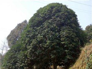 桂花樹-二十年金桂
