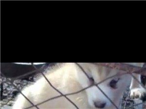 梦幻色哈士奇幼犬