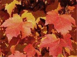 挪威紅楓、北美海棠系列品種、金葉復葉槭等品種。