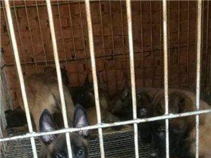 金沙网站宏达犬业