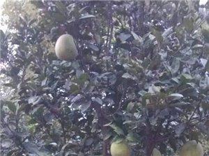 出售柚子树文旦树