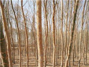 大量苗木销售,望有需求新老客户前来洽谈