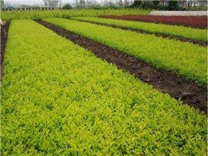 基地苗圃常年直供各種綠化工程
