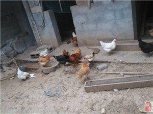 长年出售土鸡