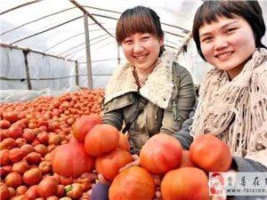 胡阳镇岩峪村西红柿基地,欢迎供应商前来采购视察