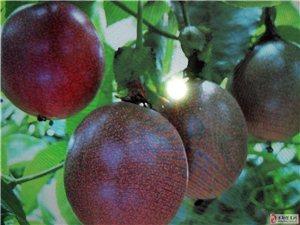 本地山羊养殖及百香果种植