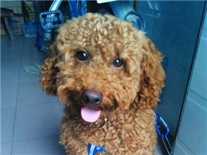 出售两岁棕色泰迪狗