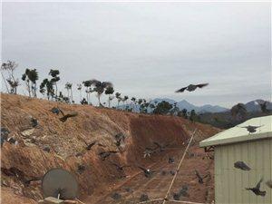 山上走地鸡,见过会飞的鸡吗?