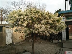 個人種植白丁香