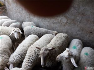 自家养的9羊羔