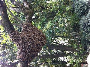 出售桶養純土蜂蜜