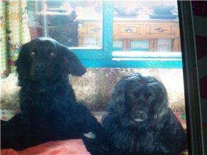 黑色可卡犬六岁多