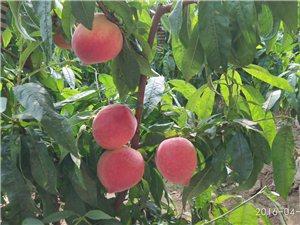 鮮。桃。采。 摘