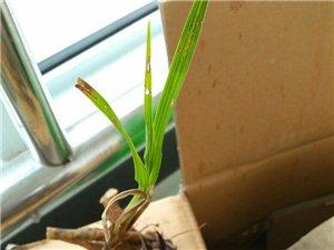 种下一株细叶兰花
