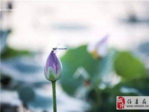 邢台威县出现莲花仙境,美呆啦!