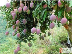 攀枝花芒果 分享下给大家