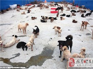 爱狗者赴玉林花50余万从屠刀下买走千条狗(图)