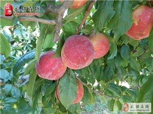 瓜果飘香的季节――李子成熟了!