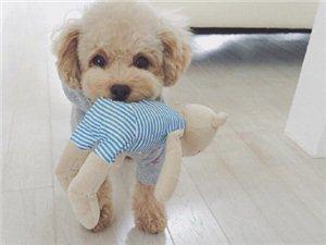 小小泰迪,太可爱惹