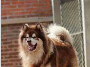 澳门银河娱乐场地区当面交易出售阿拉斯加幼犬有需要的速度联系