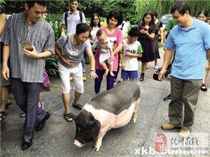 """2斤""""小香猪""""一年后变200斤 主人无奈将其送到猪场"""