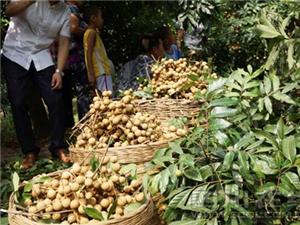 泸州桂圆今年产量8万吨