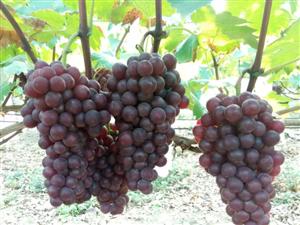 【活动召集】8月22日星期六在线君约你农民家摘黑提和葡萄