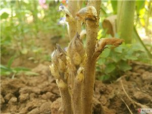 请专家辨认一下这是什么植物