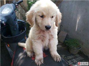 出售纯种金毛狗狗,900一只,非诚勿扰。还有7只满月狗狗。