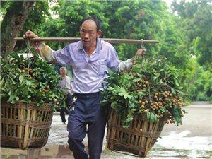 泸县桂圆今年产量将达5万吨以上