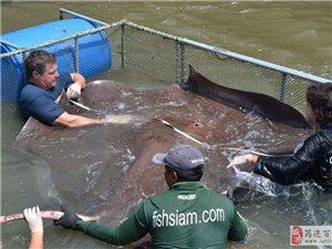 泰国捕获全球最大淡水鱼:需8人抬